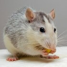 Ziekte bij ratten: tumoren, luchtwegproblemen en parasieten