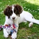 Canine herpesvirus geeft slechte dekresultaten en dode pups