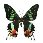 Het mooie maar korte leven van de vlinders