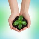 Christusdoorn (Euphorbia milii): kopen en verzorging