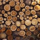 De paranoot: het behoud van het regenwoud?