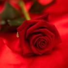 De taal der rozen
