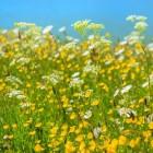 Kamille en goudsbloem