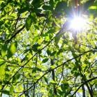 Zetmeelvorming in bladeren