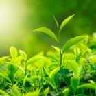 Waarom een blad groen is