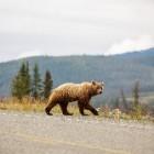 Beren kijken in de Karpaten