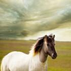 Witte paarden zijn zeldzaam