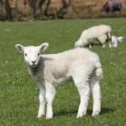 Schapen: meer dan leveranciers van wol, vlees en melk