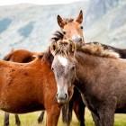 De veulen opfok: huisvesting voor jonge paarden