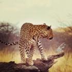 Zoogdieren: roofdieren op het land