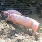 Biologische evoluties bij het varken
