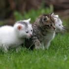 De vacht van langharige katten verzorgen