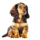 Mijn puppy jankt en is kreupel door groeipijn: Enostosis