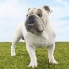 Hondengedrag: plassen