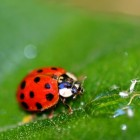 Schadelijke insecten op rode biet - biologische bestrijding
