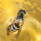 Is het einde van de Europese honingbij nabij?