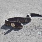 De kleinste slangensoort ter wereld: Leptotyphlops Carlae