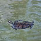 Pneumonie bij de moeras, water - en landschildpad