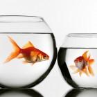 Hoe zieke vissen pijnloos doden?