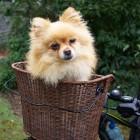 Atopie hond: likken en bijten van rode jeukende huid hond