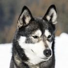 Aandoeningen aan het ooglid bij de hond