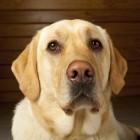 Slome hond met dikke buik, veel drinken en gaten in de vacht