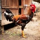 Ziekte van Marek bij kippen herkennen