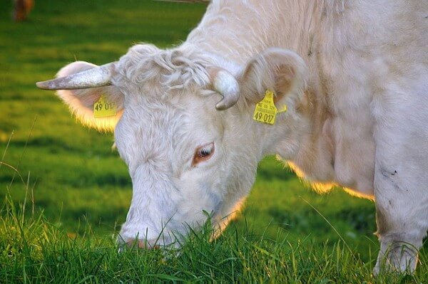 An albino cow can be recognized by its white coat and red eyes / Source: ADD, Pixabay