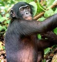 bedreigd :  Bonobo