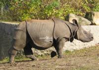 bedreigd :  Indische neushoorn