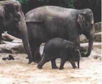 bedreigd :  Aziatische olifant