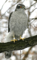 Havik (<I>Accipiter gentilis</I>) / Bron: Norbert Kenntner, Berlin, Wikimedia Commons (CC BY-SA-3.0)
