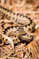 Adder] / Bron: Darranl / Flickr