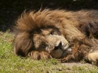 Afbeeldingsresultaat voor slapen als een leeuw