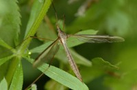 <I>Tipula oleracea</I> (koollangpootmug) / Bron: James K. Lindsey, Wikimedia Commons (CC BY-SA-3.0)