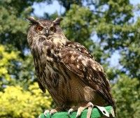 Oehoe (<I>Bubo bubo</I>) / Bron: Photograph: Softeis, Wikimedia Commons (CC BY-SA-3.0)