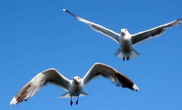 Common Gull / Source: tsca, Wikimedia Commons (CC BY-SA-3.0)