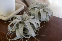 Tillandsia xerographica / Bron: I-saint, Flickr (CC BY-2.0)