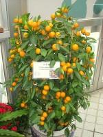 mediterrane balkonplanten sinaasappelboompje citrus. Black Bedroom Furniture Sets. Home Design Ideas