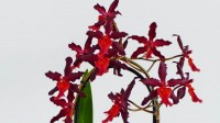 Orchidee Cymbidium Red Ruby geleid langs een boog.