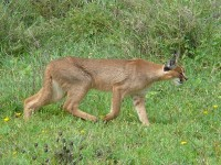 Caracal in de Serengeti / Bron: Nick and Melissa Baker, Wikimedia Commons (CC BY-2.5)