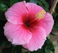 Hibiscus Rosa-chinensis / Bron: Nvineeth, Wikimedia Commons (CC BY-SA-3.0)
