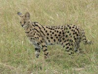 Serval / Bron: Self, Wikimedia Commons (CC BY-SA-2.5)