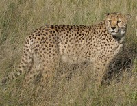 Cheetah / Bron: Falense, Wikimedia Commons (CC BY-SA-3.0)