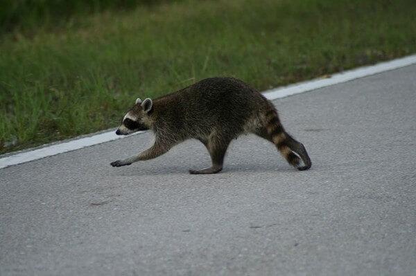 Figure 3: A common raccoon / Image source: Korall, Wikimedia Commons (CC BY-SA-3.0)