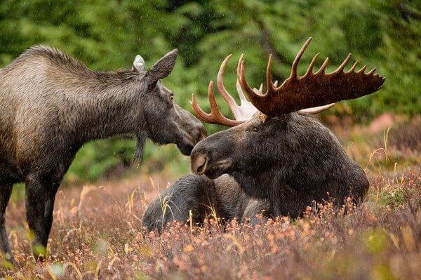 Figure 2: Two Elk / Source: Ryan Hagerty, Wikimedia Commons (Public Domain)