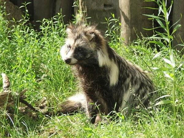 Figure 2: a raccoon dog / Source: Pkuczynski, Wikimedia Commons (CC BY-SA-3.0)